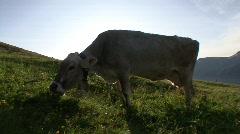 Cows Grazing Sunrise 1 Stock Footage