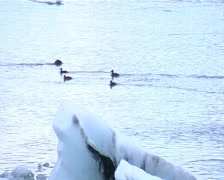 Seal diving in ice lagoon 2 - stock footage