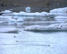 2 seals in ice lagoon - stock footage