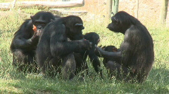 Family of chimpanzees Stock Footage