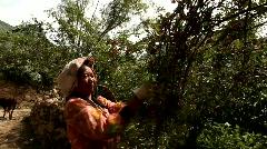 Woman picks Sichuan pepper Stock Footage