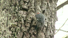 Wood Pecker on Tree Trunk Stock Footage