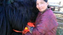 Mongolian woman milks her cow Yak Stock Footage