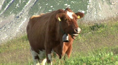 Zoom Out Cow In Front Of Mountain Stock Footage