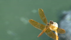 Dragonfly Droppings Stock Footage