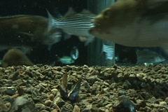 Fish Tank, Striped Searobin, Black Drum, Permit Stock Footage