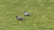 Stock Video Footage of Pigeon