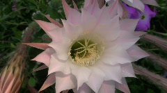 Bloomed cactus close-up  Stock Footage