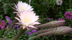 A beautifully bloomed cactus  Stock Footage