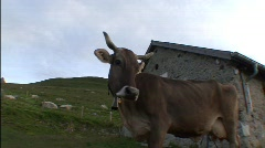 Cows On the Alp 2 Stock Footage