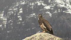 P00601 Immature Bald Eagle at Yellowstone Stock Footage