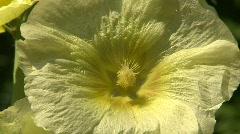 Honeybee pollinating hollyhock flower Stock Footage