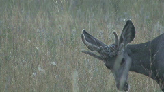P00609 Mule Deer Buck with Deformed Antlers Stock Footage