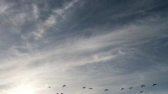 Stock Video Footage of geese in flight
