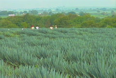 blue agave field 01 - stock footage