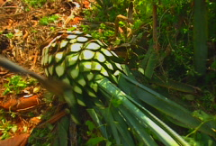 Harvesting blue agave 04 Stock Footage