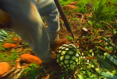 harvesting blue agave 06 - stock footage