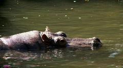hippopotamus - stock footage