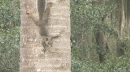 Squirrel on Palm Tress Stock Footage