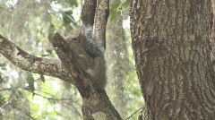 Squirrel on Tree Limb Stock Footage