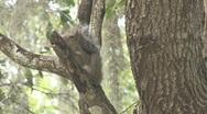 Squirrel on Tree Limb Stock Footage