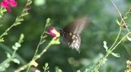 Beautiful brown spotted butterfly feeding on pink flower Stock Footage