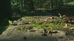 Acorn falls from tree Stock Footage