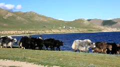 Yaks Stock Footage