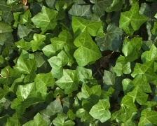 Ivy leaves Stock Footage