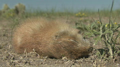 P00617 Prairie Dog Dead of Plague Stock Footage