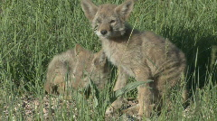 P00619 Coyote Pups Stock Footage