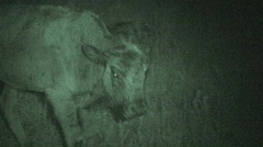 P00620 Infrared of Bison Calf at Night Stock Footage