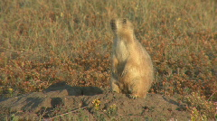 P00647 Barking Black-tailed Prairie Dog Stock Footage