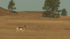 P00648 Great Plains Prairie with Pronghorn Antelope - stock footage