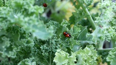 Mating Ladybirds Stock Footage