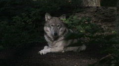 Gray Wolf in sunlight Stock Footage