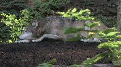 Gray Wolf on log 3 Stock Footage
