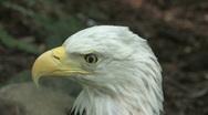 Bald Eagle CU 5 Stock Footage