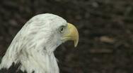 Bald Eagle CU 6 Stock Footage