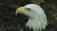 Bald Eagle CU 7a Stock Footage