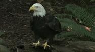 Bald Eagle looks around 5 Stock Footage