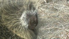P00645 Porcupine Stock Footage