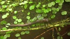 Amazon Climbing Salamander (Bolitoglossa peruviana) Stock Footage