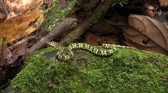 Speckled forest pitviper (Bothriopsis taeniata) Stock Footage
