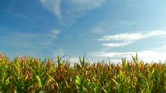 Green field of corn Stock Footage