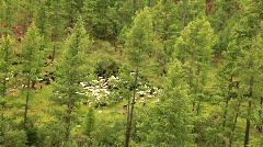Can't sleep? Count these sheep Stock Footage