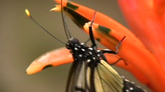 Transparent butterfly Metona sp. - stock footage