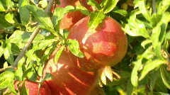 Pomegranate 1 Stock Footage