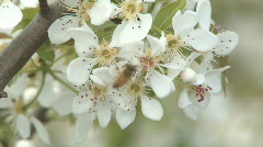 Bee on pear blossom zoom out Stock Footage