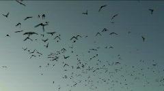 Bats Galore Stock Footage